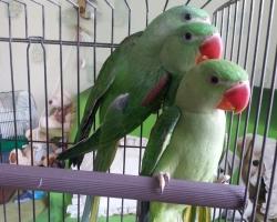 Александрийские попугаи (выкормыши) - новинка мая 2016
