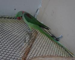2 самца Александрийского попугая на фауна бай