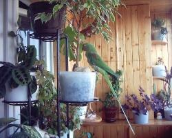 купить александрийского попугая в минске