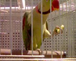 александрийский попугай цена