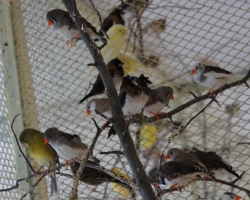 амадины японские и зебровые в вольере с другими птицами