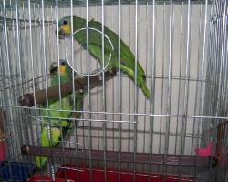 Крупный Попугай Амазон Венесуэльский на fauna.by