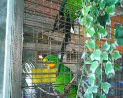 Роскошный баррабандов (барабантовый) попугай Polytelis swainsonii в Минске