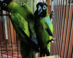 Нандайя или черноголовый попугай. Аратинга черноголовая