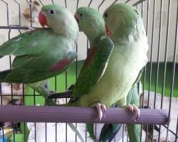 Александрийские попугаи (выкормыши)