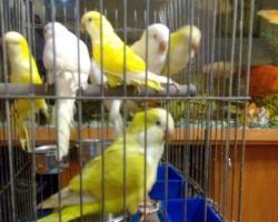 Попугаи монахи редких окрасов - желтого и белого