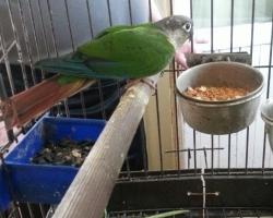 Пирруровые попугаи