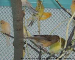 Кенары разных окрасов и форм на фауна бай