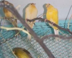 Канарейки овсяночного напева! Купить канарейку на fauna.by