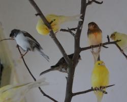канарейки различных окрасов с другими певчими птицами