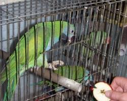 кормление с руки китайского попугая