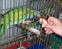 Китайский кольчатый попугай есть с руки