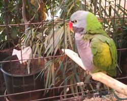 Красавец китайский кольчатый попугай
