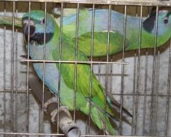 Китайский кольчатый попугай