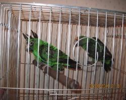 Красивый конголезский попугай