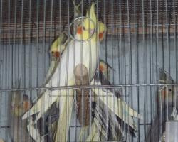 новые поступления попугая корелла