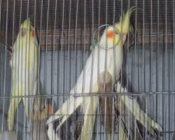 новые поступления попугая нимфа