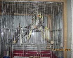 корелла один из самых легко приручаемых попугаев