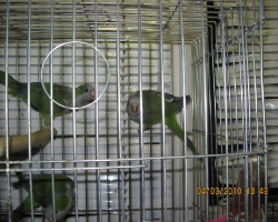 Попугай монах (калита)