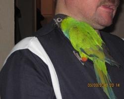 Нандайя, или черноголовый попугай