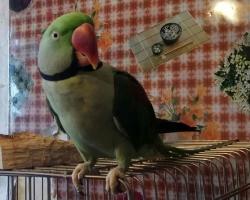 Ожереловый попугай купить в минске на фауна бай