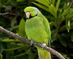 Ожереловый попугай Psittacula krameri купить в минске