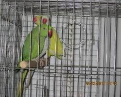 Ожереловый попугай Psittacula krameri в продаже имеются попугаи всех цветов
