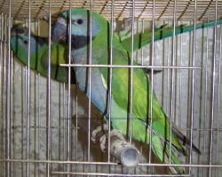 Китайский кольчатый попугай (лат. Psittacula derbiana)