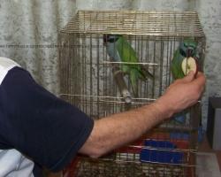 Китайский кольчатый попугай (лат. Psittacula derbiana) ест яблоко с руки