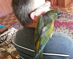 Патагонский попугай или Скалистый попугай (Cyanoliseus patagonus)