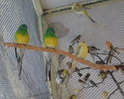 певчие попугаи (самцы и самки)