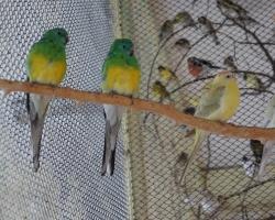 певчие попугаи и розеллы