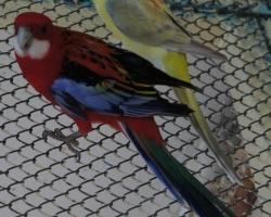 розелла и самка певчего попугая
