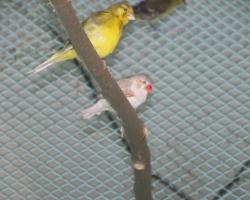 певчие и декоративные птицы на Fauna.by