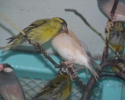 Покупайте певчих птиц