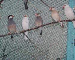 певчие птицы - это радость