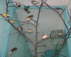 певчие птицы от Fauna.by