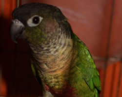 Краснохвостый зеленощёкий попугай Pyrrhura molinae