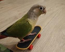 пирруровый попугай скейтбордист