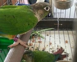Пирруровые попугаи разных видов на fauna.by