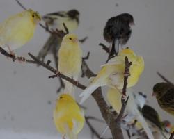 Птичий калейдоскоп вольер №2 - канарейки (чубатая и гладкоголовая форма), амадины японские и зебровые, чижы и щеглы