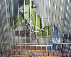 розовогрудые попугаи (птенцы) самцы и самки