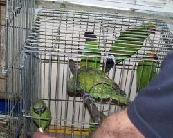 ест с руки розовогрудый попугай