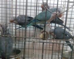 редкий окрас попугай монах - синие монахи