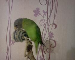 сливоголовый попугай птенец