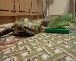 сливоголовый попугай птенец и Черепаха