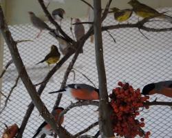 снегири в вольере с другими птицами