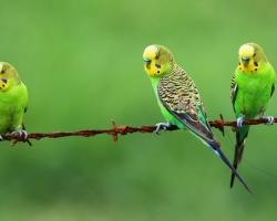 купить волнистого попугая в Минске можно у нас!