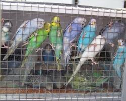 Купить волнистого попугая на FAUNA.BY