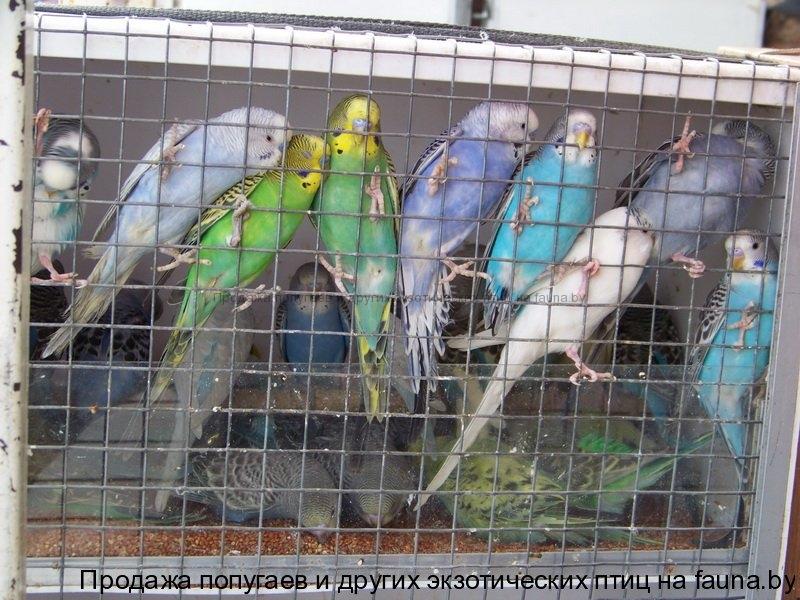 Сколько стоит волнистый попугайчик